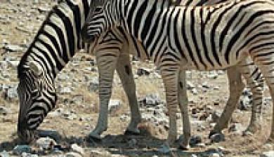 Antelope Geophagy Study