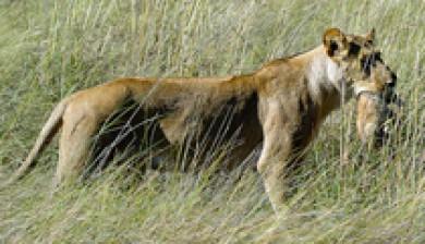 Botswana Lions Genetics